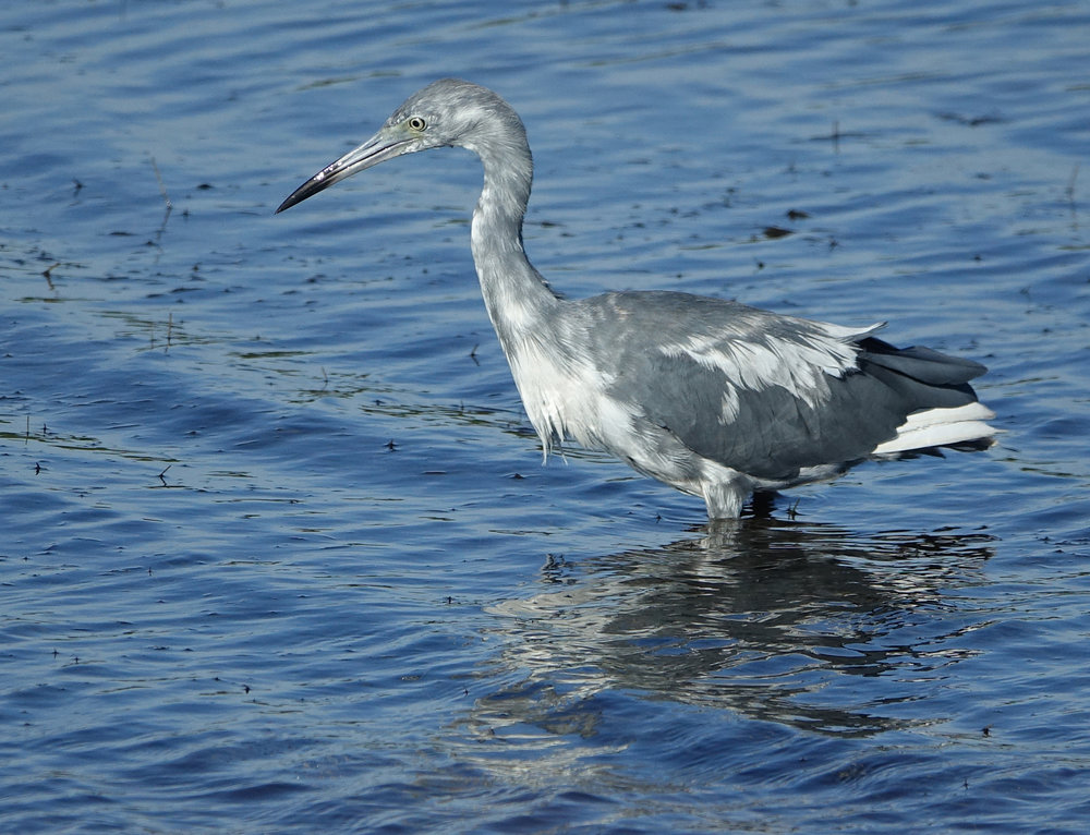 JUVENILE LITTLE BLUE HERON  (Egretta caerulea),  South Carolina, July 2018