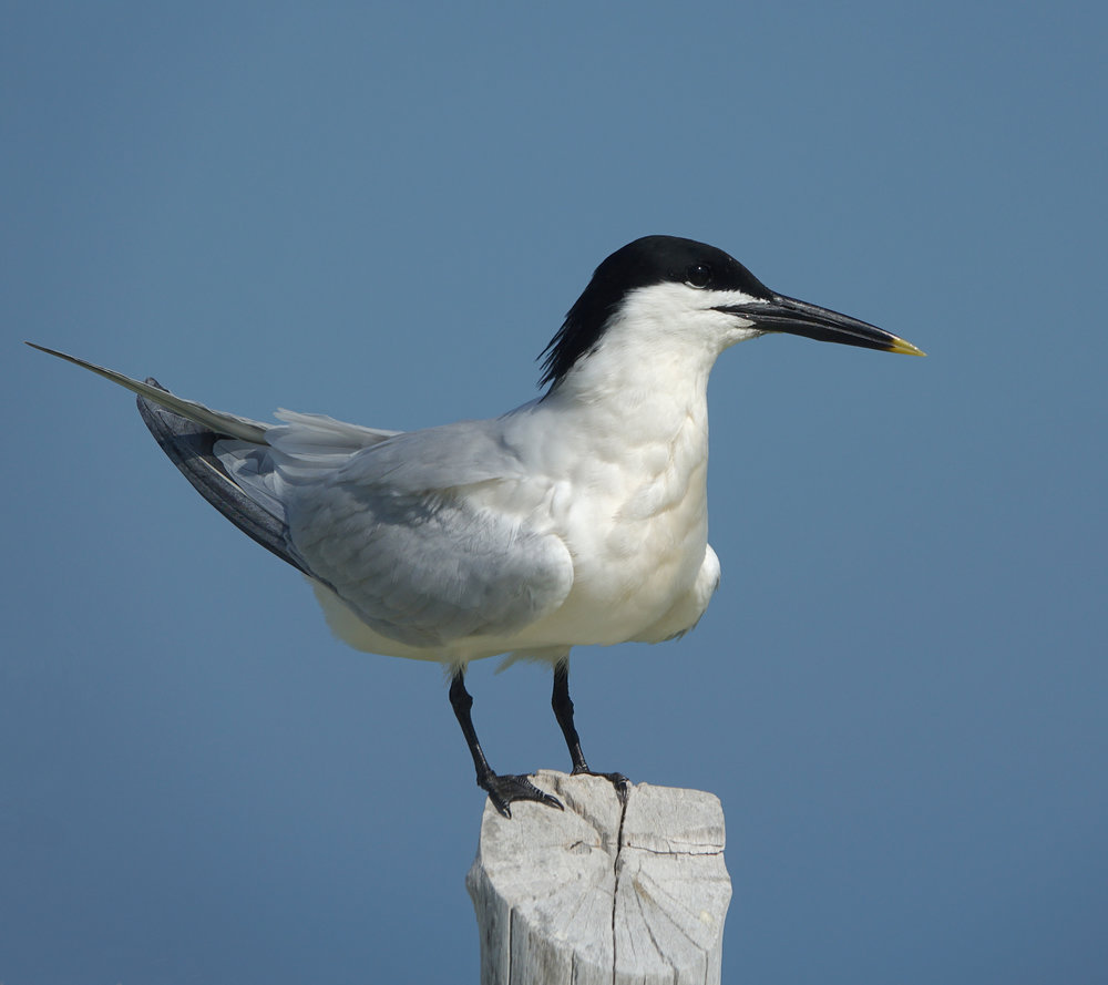SANDWICH TERN ( Thalasseus sandvicensis),  Isla Holbox, Mexico, April 2018