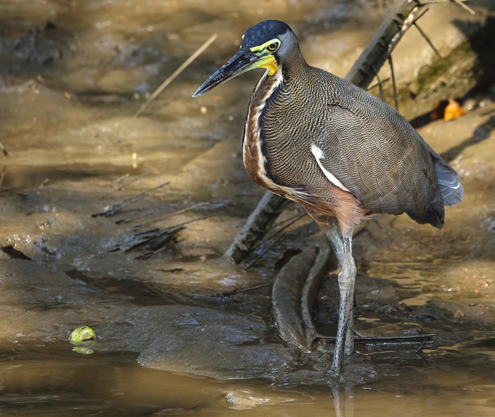 BARE-THROATED TIGER HERON (Tigrisoma mexicanum), Rio Sierpe, Costa Rica, 2019