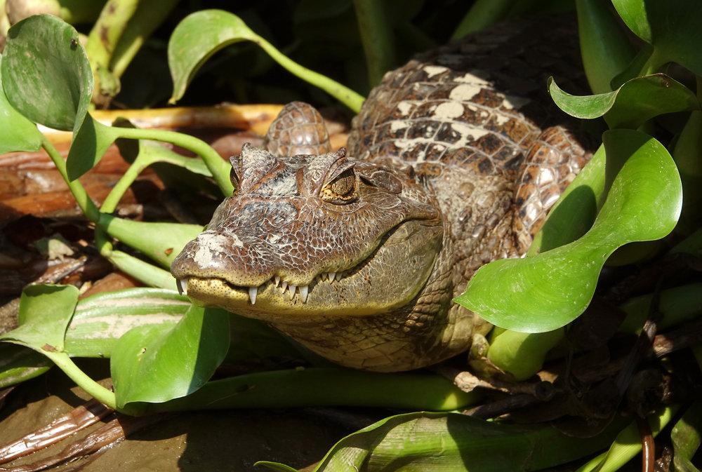 SPECTACLED CAIMAN ( Caiman crocodilus ), Rio Sierpe, COsta Rica, 2019