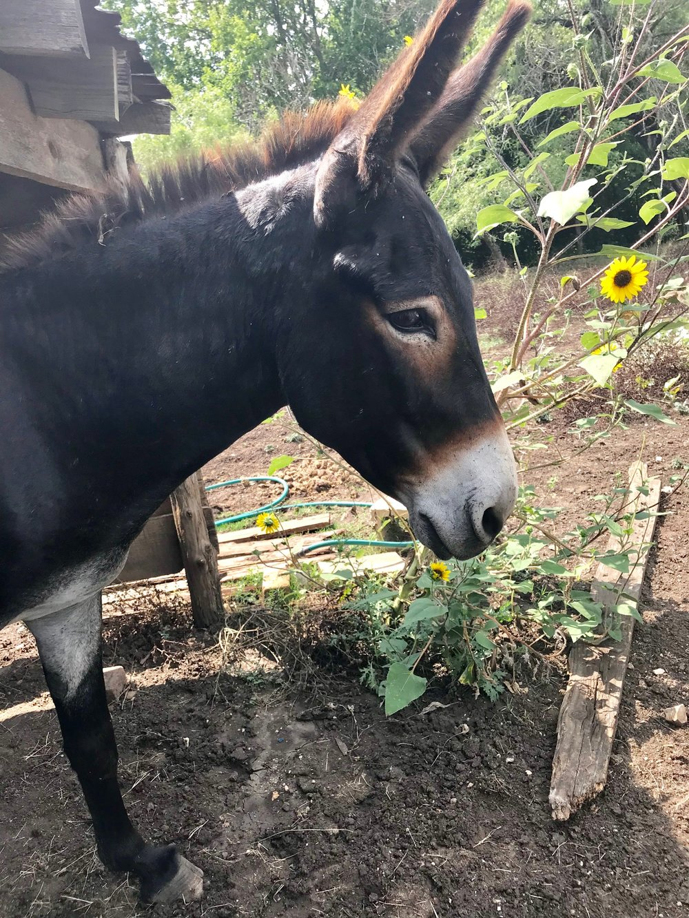 Henry   I'm the head donkey and I love to sing. Most days, you can hear me serenading the girls. I also like to greet people at the fence behind the Bell House.