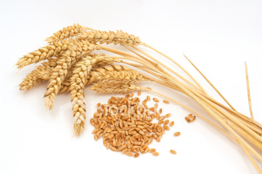 wheatprotein4.jpg