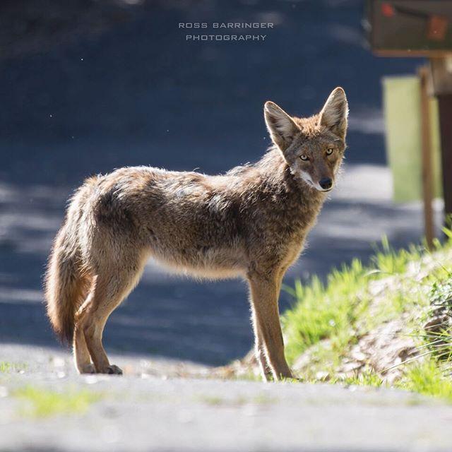 #coyote #Marin #wildlife #mttamalpais
