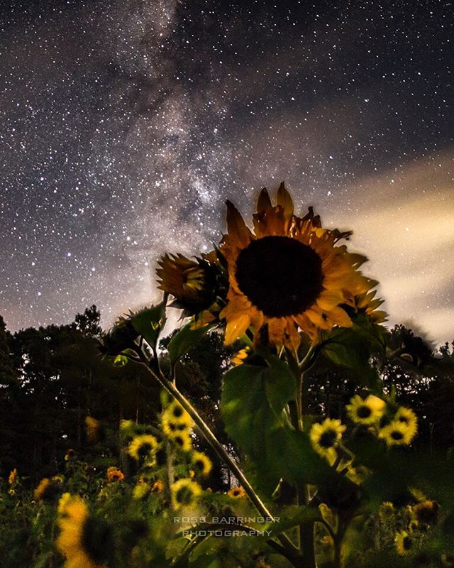 It's been a while and I'm feeling a little rusty... work in progress. #sunflower #nightphotography #milkway #longexposure #fortunatefarm