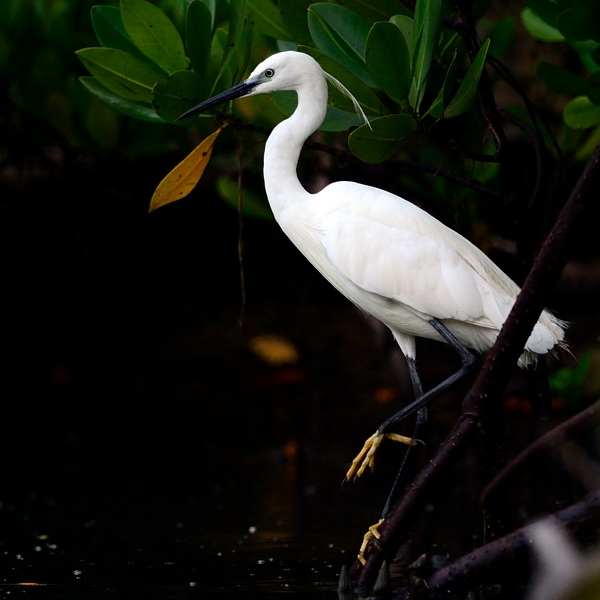 Little Egret  Seen in the mangrove north of the lodge.