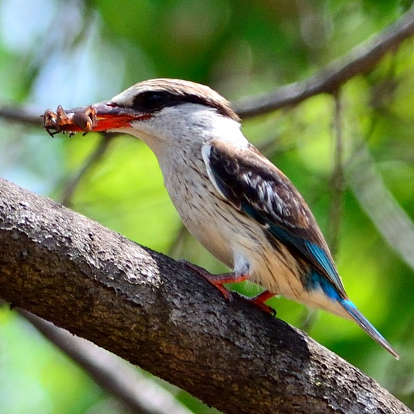Striped Kingfisher  At the lodge.