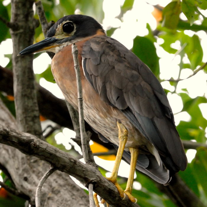 White-Backed Night-Heron  Often seen in the mangrove just north of the lodge.