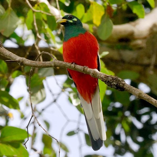 Narina Trogon  Msumbugwe forest.
