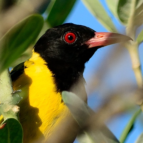 African Black-Headed Oriole  At the lodge.