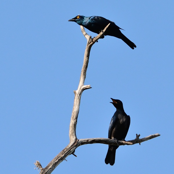 Adult & Immature Black-Bellied Starling  Common in coastal forest and bush, here in the mangrove just north of the lodge.