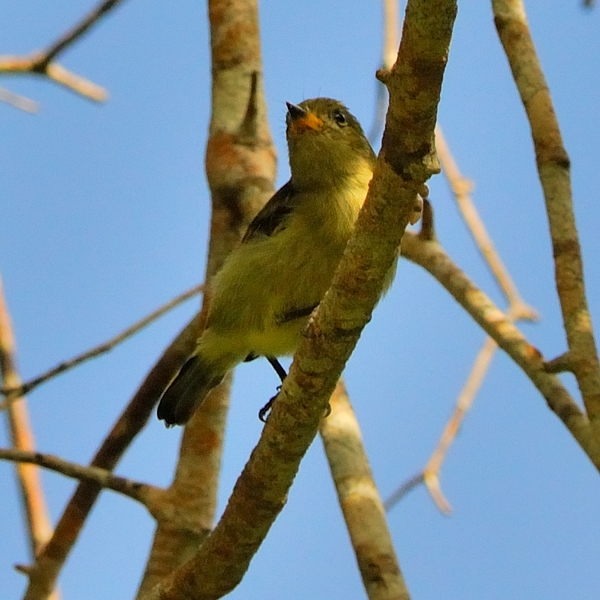 Little Yellow Flycatcher  A coastal endemic, here in Msumbugwe Forest.