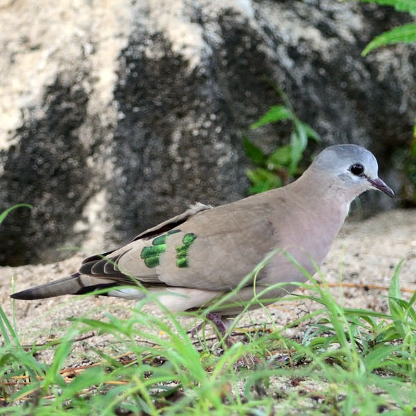 Emerald-Spotted Wood-Dove  At the lodge.