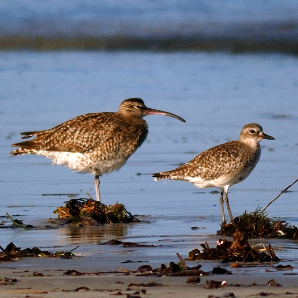 Whimbrel & Grey Plover  Palearctic winter visitors along the shore near the lodge.