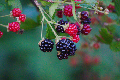 Blackberries are a food that is beneficial to the Third Eye Chakra. Photo:   Some rights reserved  by  jared_smith