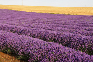 Lavender essential oil can be beneficial for the heart chakra. Photo:    Some rights reserved   by   Dave Catchpole