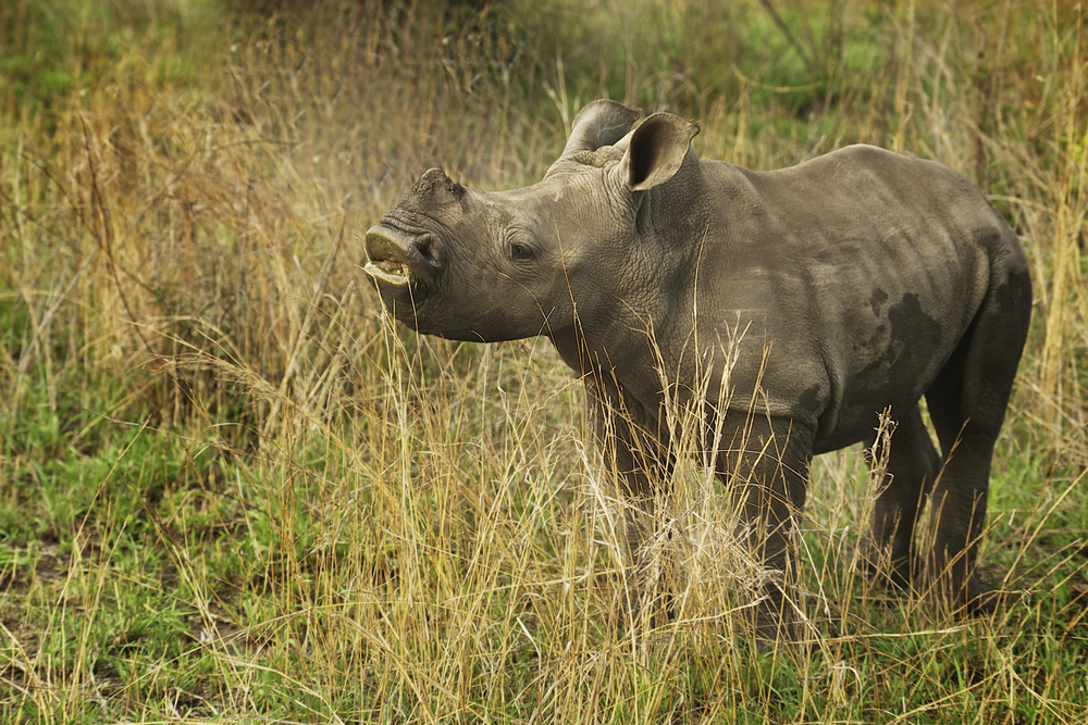 An orphaned Rhino
