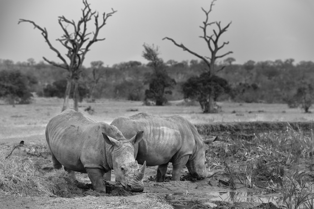 Black and White Portrait of Rhinos