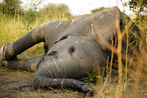 An elephant lies dead in the grasslands of Zakouma National Park under the shade of a tree after poachers fired automatic weapons into a herd of elephant to kill them for their ivory on October 24, 2008 in Zakouma, Chad.
