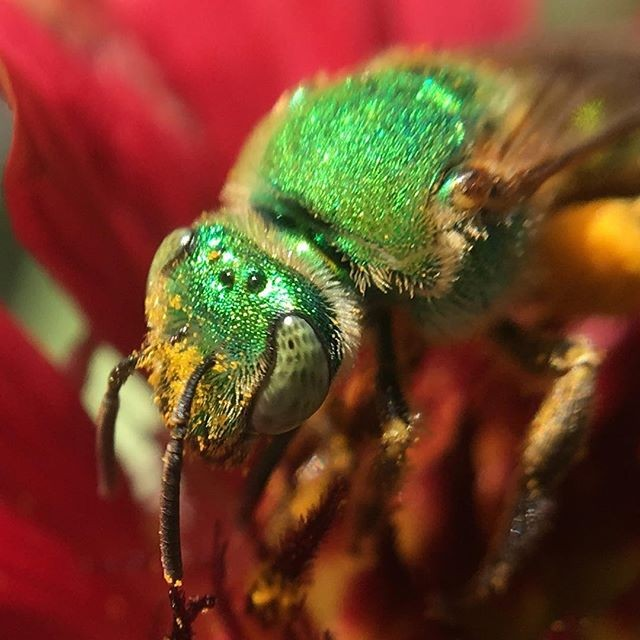 Spring is Coming (still) by @scottlovesbugs We're really looking forward to the new season of bugs, buds and beautiful things shot through the lens of a #pocketlens  #nature #macro #macro_addicts #insect #insectagram #bugsofinstagram #spring #greenback