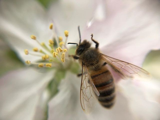 One of the best bee photo compositions so far this year. Taken by @cadet_flash with her #pocketlens #macro #macrolens #flower #bee #savethebees #naturephotography #appleblossom #thelittlethings