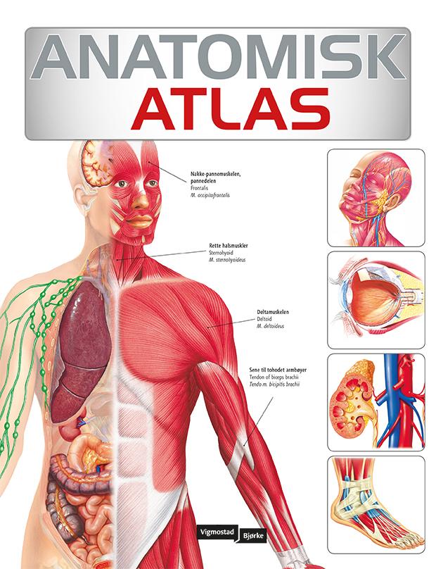 FrontAnatomisk_Atlas FLEXI808.jpg