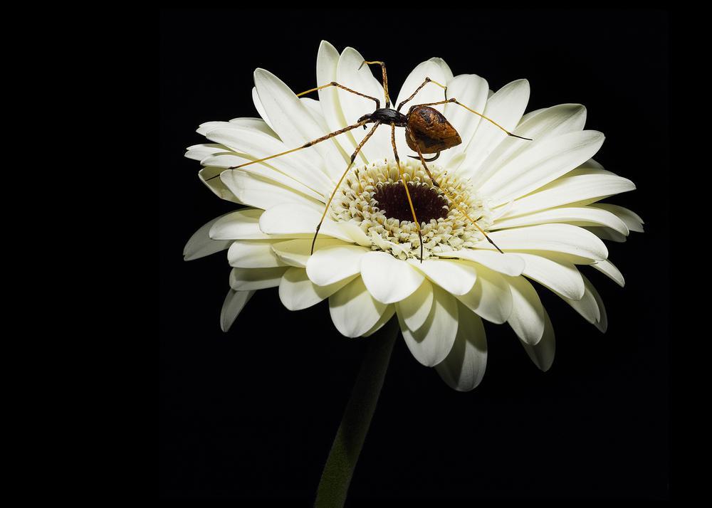 Spider_Daisy_2.jpg