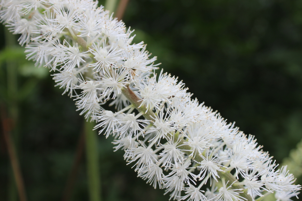 Actaea/Cimicifuga racemosa , or Black Cohosh. With 'racemosa' in the Latin name, this is a wonderfully obvious example of a  Raceme.