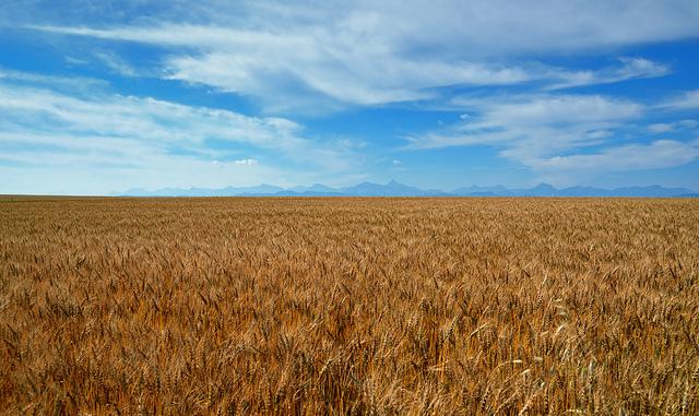 Wheat field-big sky