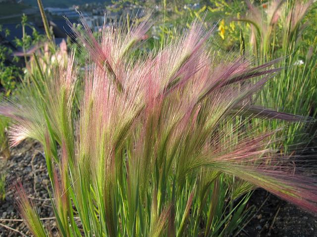 Hordeum-Foxtail Barley