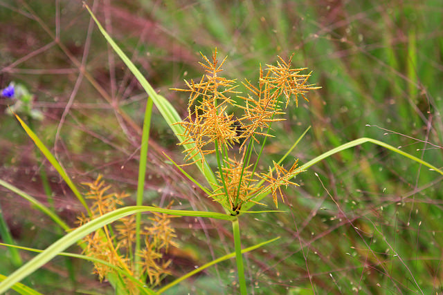 Yellow nutsedge-Cyperus esculentus,