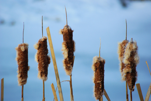 Cattail seed heads in winter