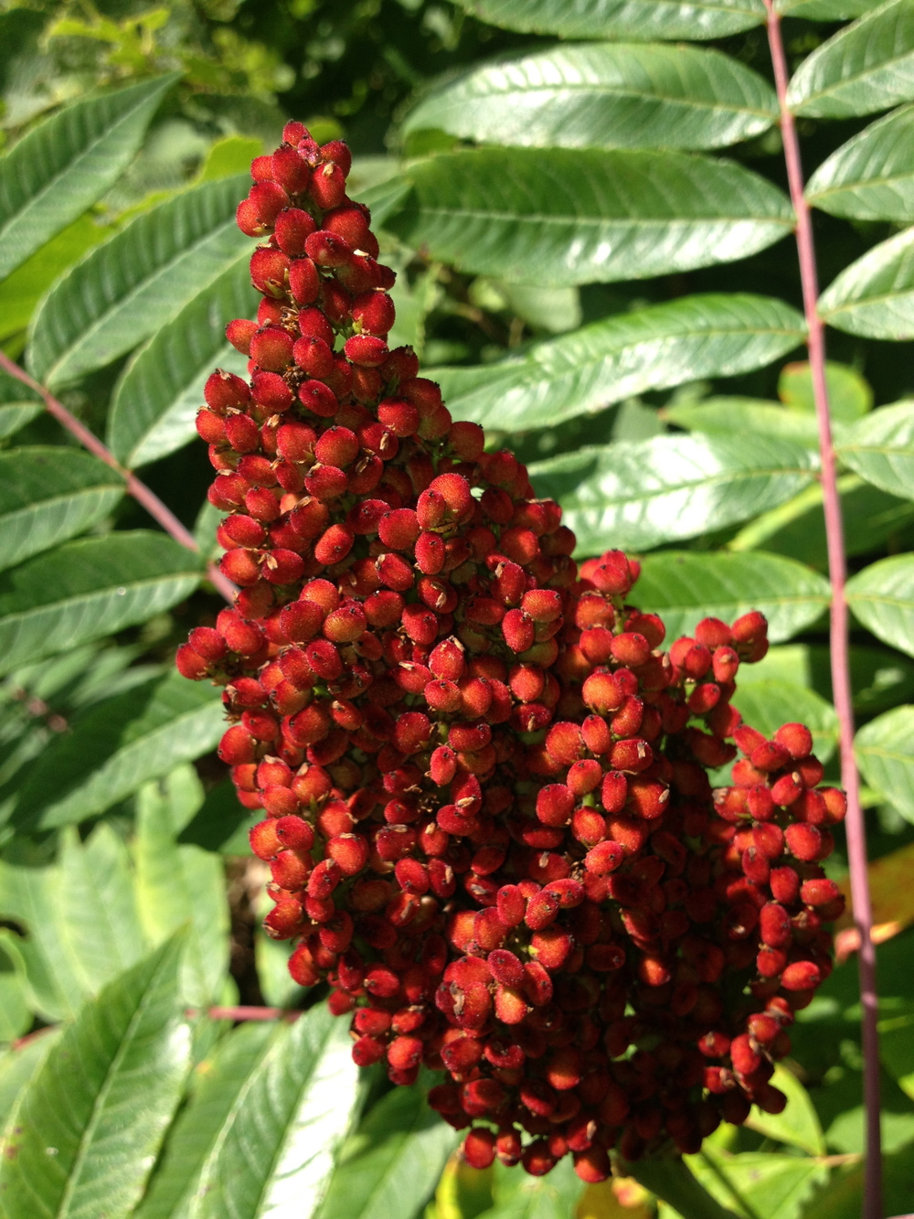 Staghorn Sumac,  Rhus typhina,  Anacardiaceae, part of a rather infamous plant family.