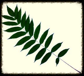 Sumac Leaf-pinnate