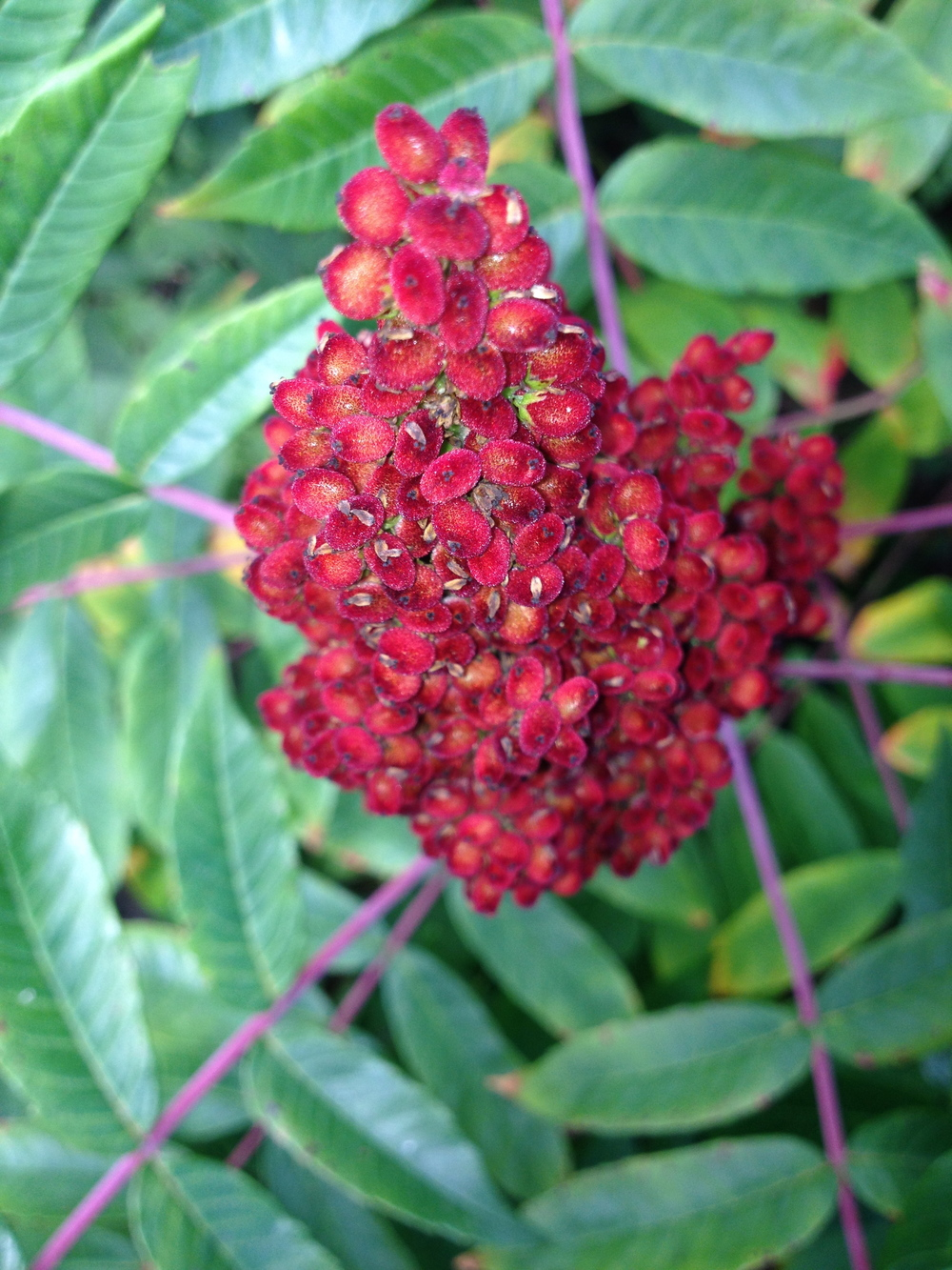 Rhus glabra,  smooth sumac. While in the same family, the shrubby sumacs are very different to the potentially dermatitis inducing  Toxicodendron vernix,  or Poison Sumac.