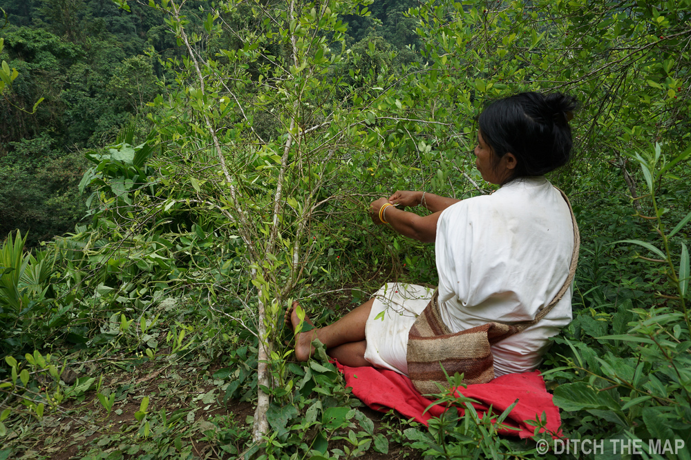 A Female Wiwa indian picks coca leaves