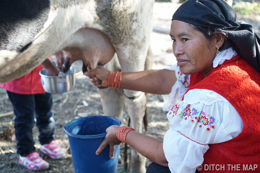 Learning How to Milk a Cow at the Homestay in Ecuador