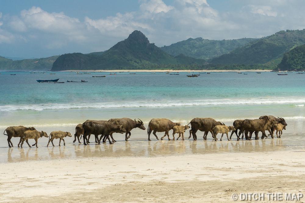 Water Buffalo on  Selong Belanak Beach in Lombok, Indonesia