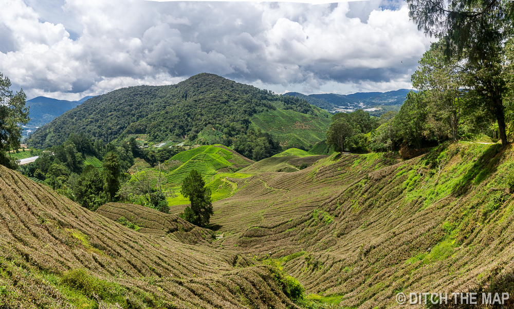 Tea Plantation in the C  ameron Highlands, Malaysia