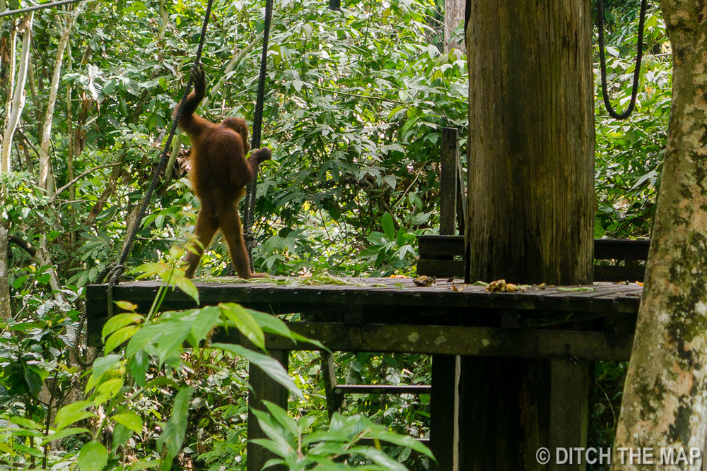 Sepilok (Sabah), Borneo