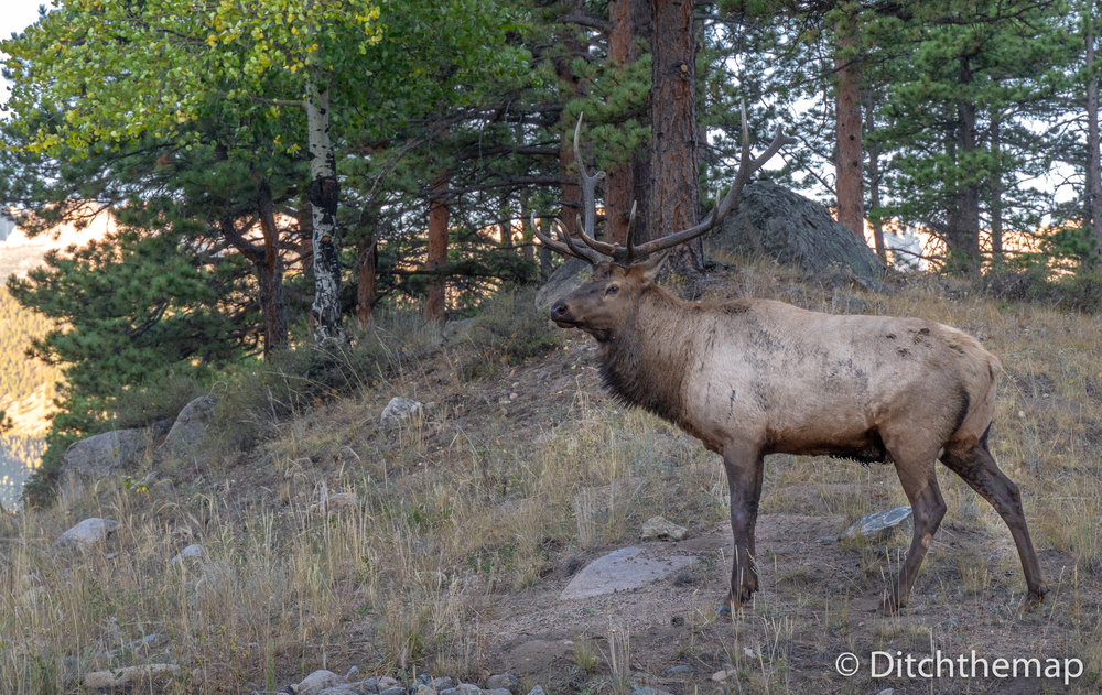 Large Elk in the Rocky Mountain National Park