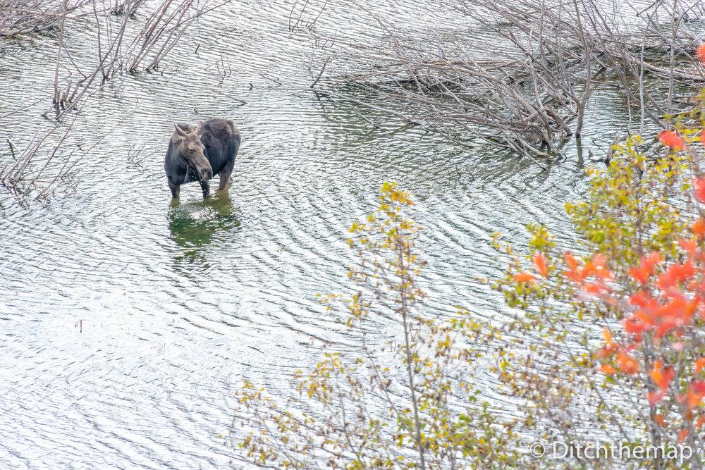 Moose bathing in a stream in Wyoming