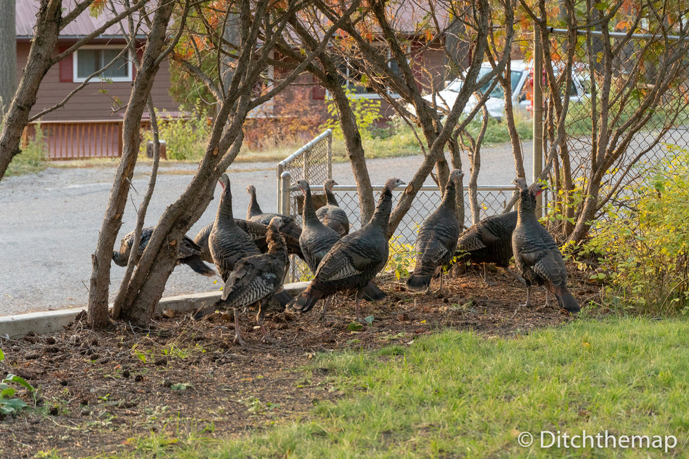 Wild Turkeys that Hung Out Near our Front Door in Whitefish, Montana