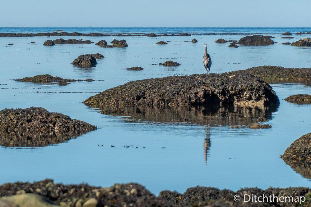 Along the rocky Washington coastline - bird and reflection