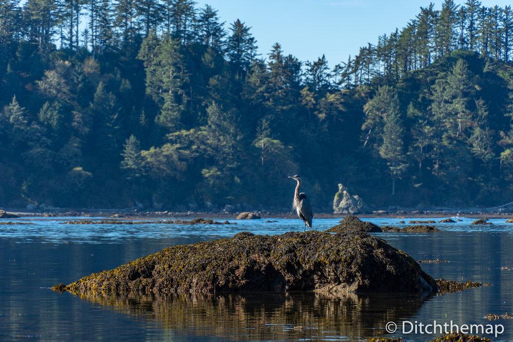 Along the rocky Washington coastline - Bird on rock