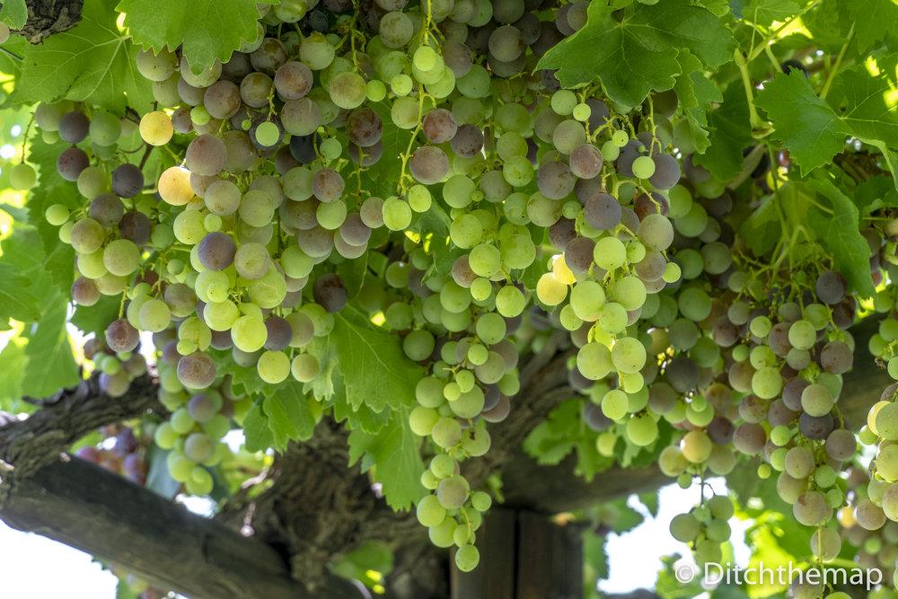 Large Mendoza Vineyard