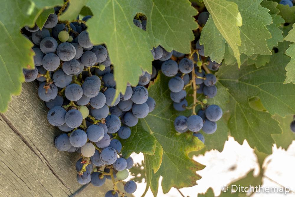 Grapes Growing on Vine on Argentine Vineyard