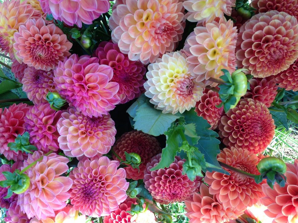 Fivefork_Farms_Dahlias_Praise.jpg