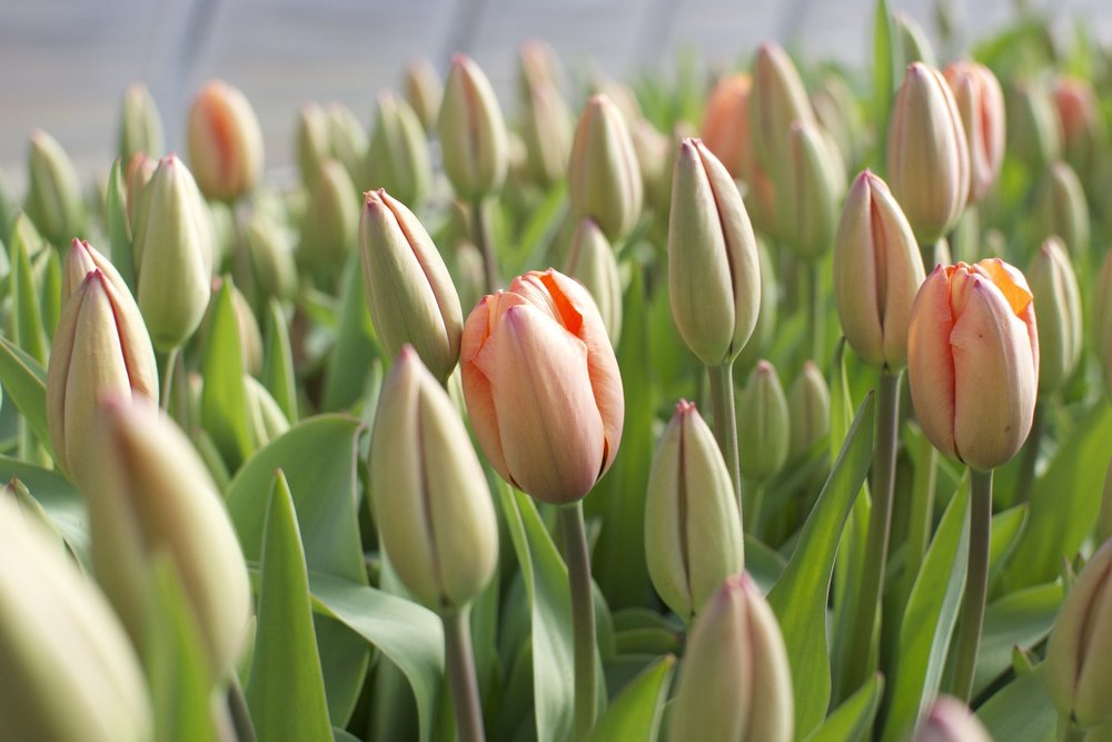 Fivefork_Farms_Tulips.jpg