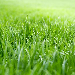 green bermuda grass