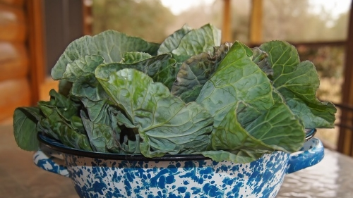 collard greens with bacon   ingredients 2 bunches collard greens, stemmed 3 teaspoons vegetable oil 1/2 red onion, sliced 3 slices bacon, cut crosswise into 1/4-inch strips 2 tablespoons cider vinegar 1 cup homemade or low-sodium store-bought chicken stock   instructions Working in batches, stack greens; cut crosswise into 2-inch-thick strips. Gather strips; cut crosswise into 2-inch pieces. Transfer to a large bowl of cold water; swish to remove grit. Transfer greens to a colander using a slotted spoon; let drain. Repeat until greens are free of grit.   Heat oil in a very large skillet over medium-high heat. Add onion and bacon; cook until onions are translucent, about 4 minutes. Add greens; cook, stirring, until greens begin to wilt and are reduced in volume.   Raise heat to high; add vinegar. Cook, scraping up brown bits from bottom of skillet, until vinegar has evaporated, about 1 minute.   Add stock; reduce heat. Simmer, covered, until greens are just tender, 12 to 14 minutes. If making ahead, refrigerate, covered; reheat over low heat. View Recipe Source